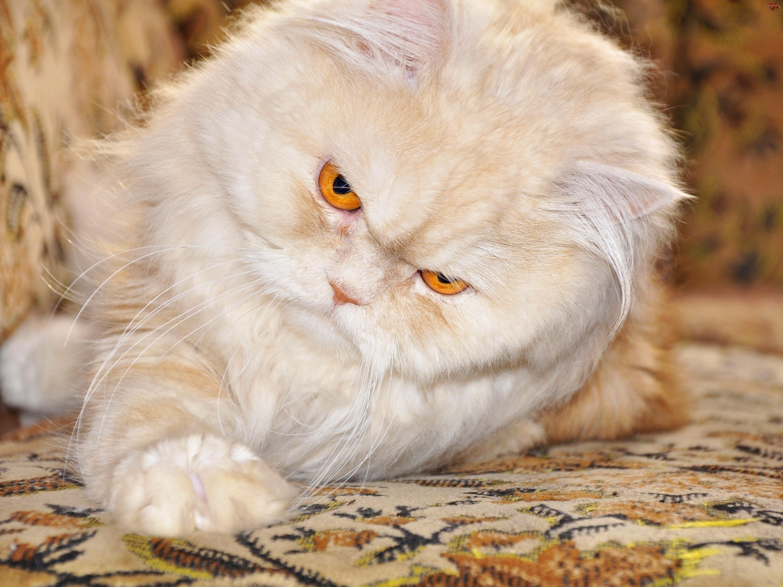 Posłanie, Kot, Perski