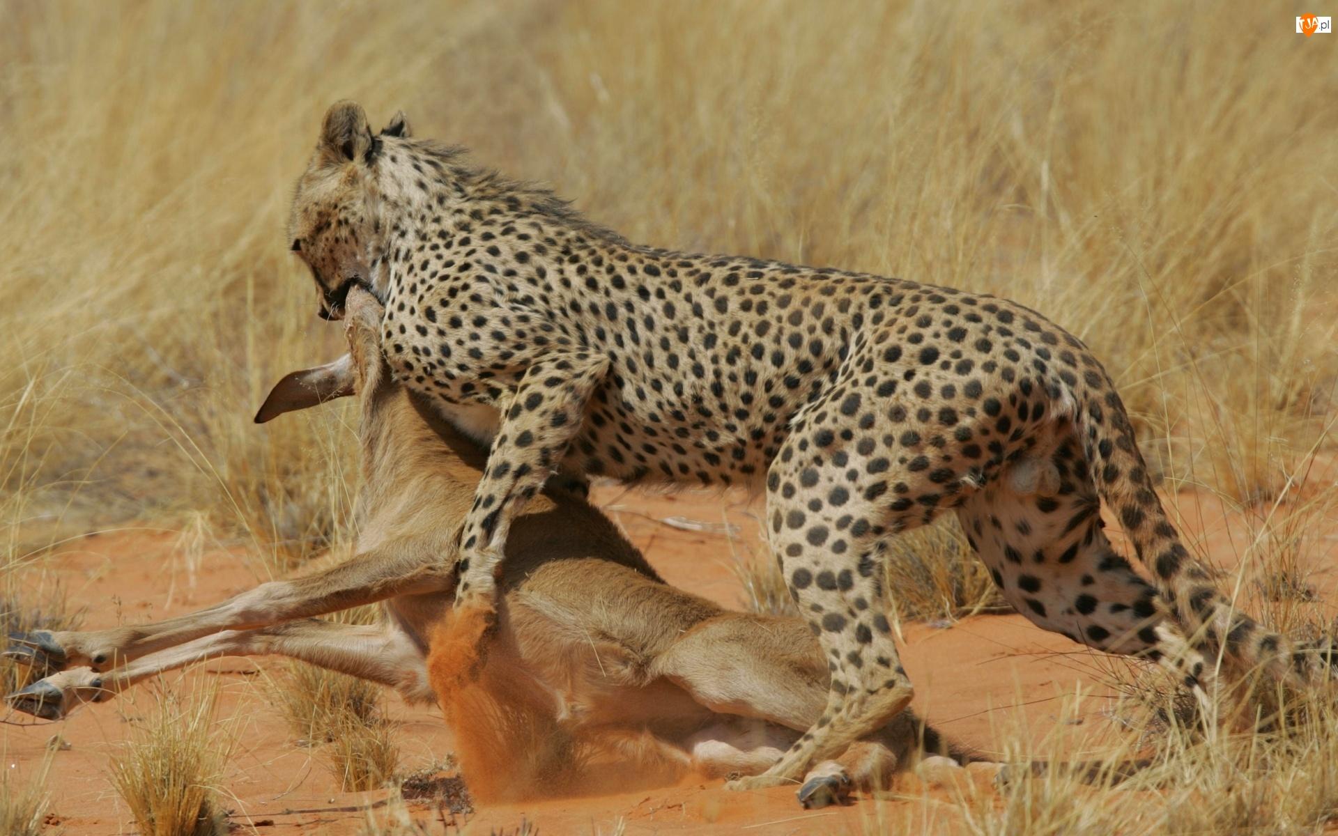 Atakujący, Polowanie, Gepard, Antylopa