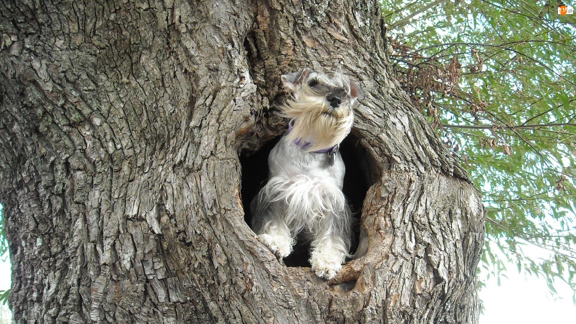 Pies, Sznaucer miniaturowy, Drzewo, Dziupla