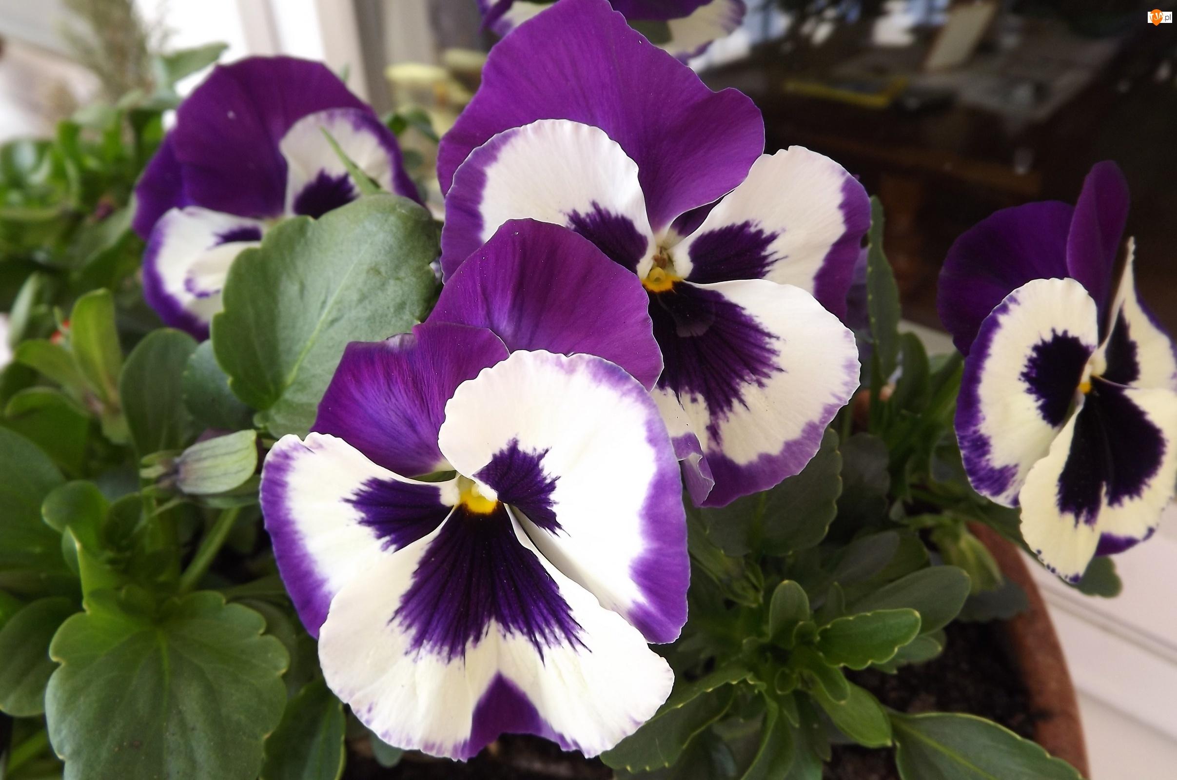 Kwiaty, Białe, Bratki, Fioletowo