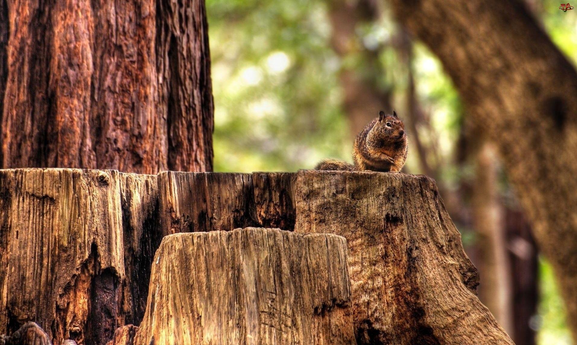 Wiewiórka, Stare, Pnie, Drzewa, Ruda