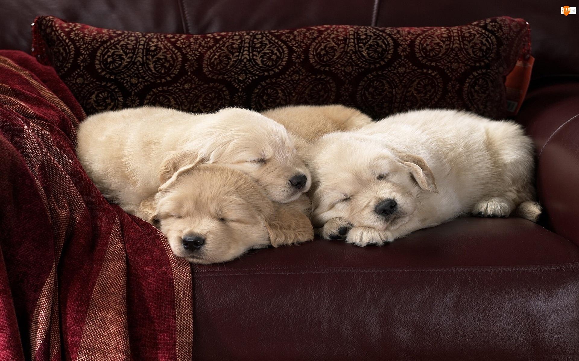 Golden retrievery, Śpiące, Psy, Szczeniaki
