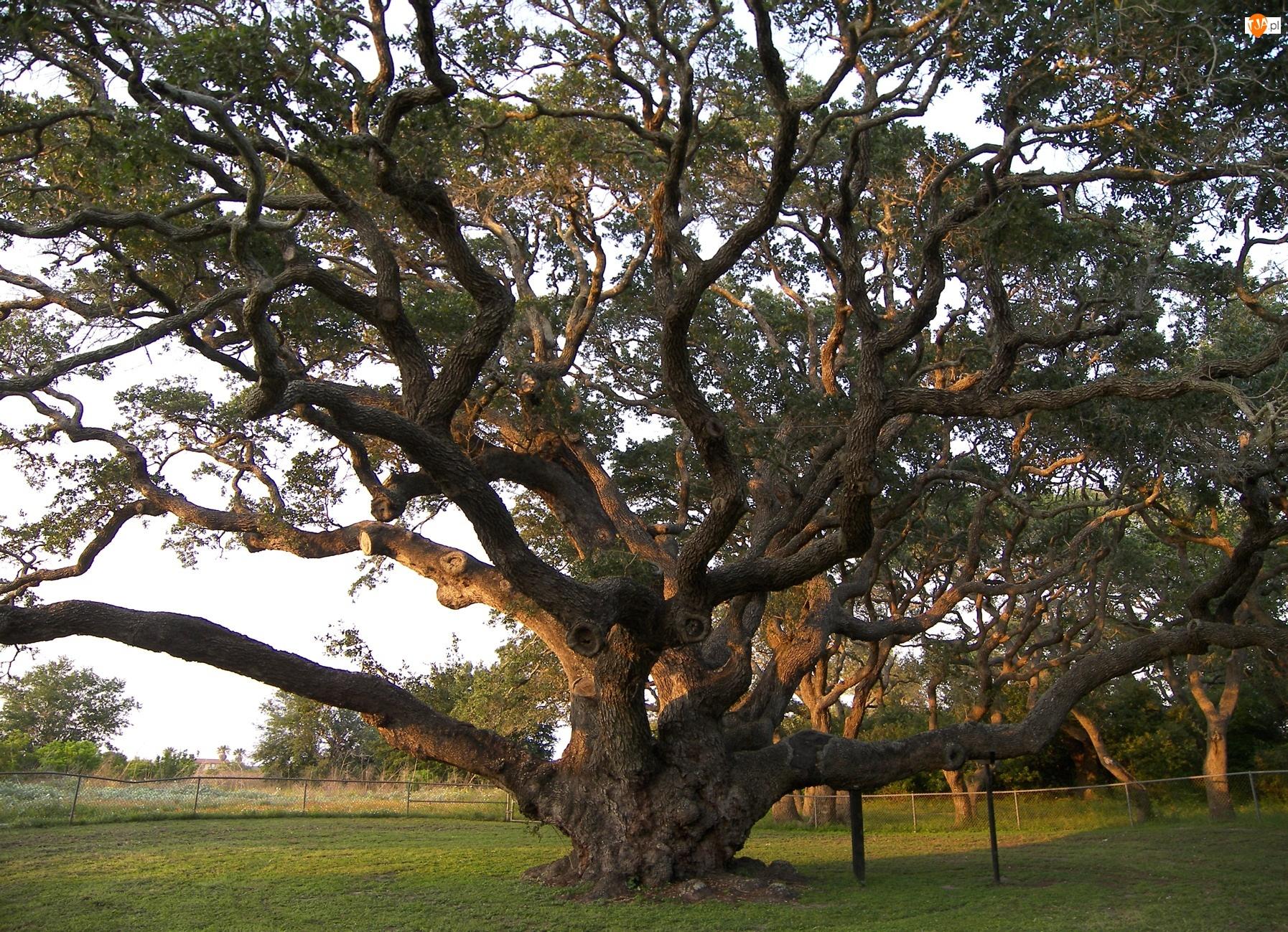 Trawa, Drzewo, Konary