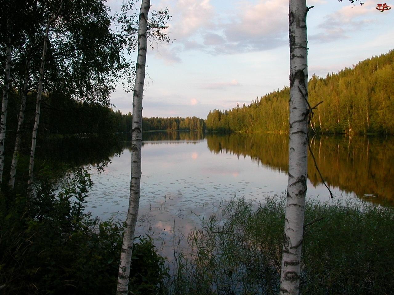 Drzewa, Las, Jezioro, Woda, Odbicie, Brzozy