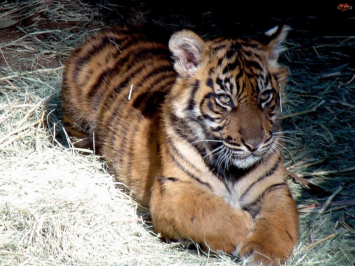Mały, Tygrysek