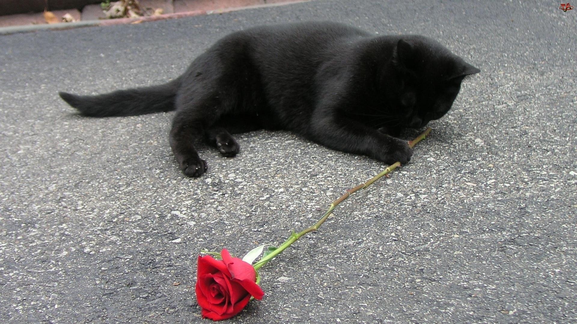 Kot, Róża