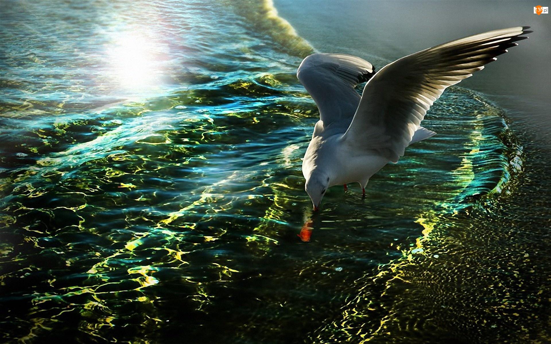 Mewa, Blask, Polowanie, Morze