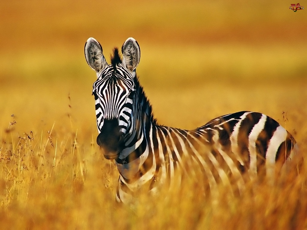 Samotna, Zebra