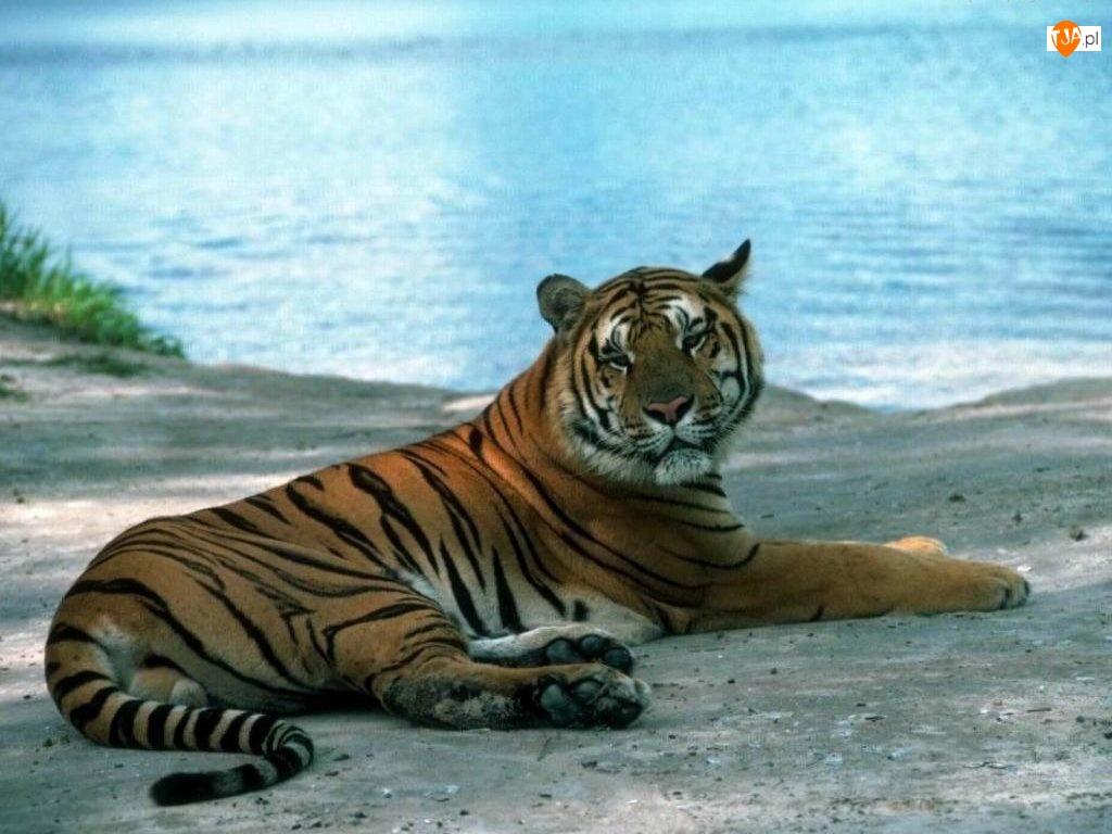 Stary, Tygrys