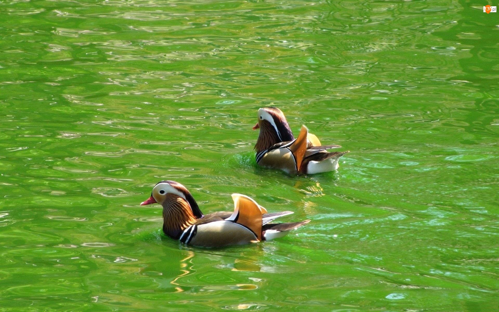 Kaczki Mandarynki, Woda, Pływające