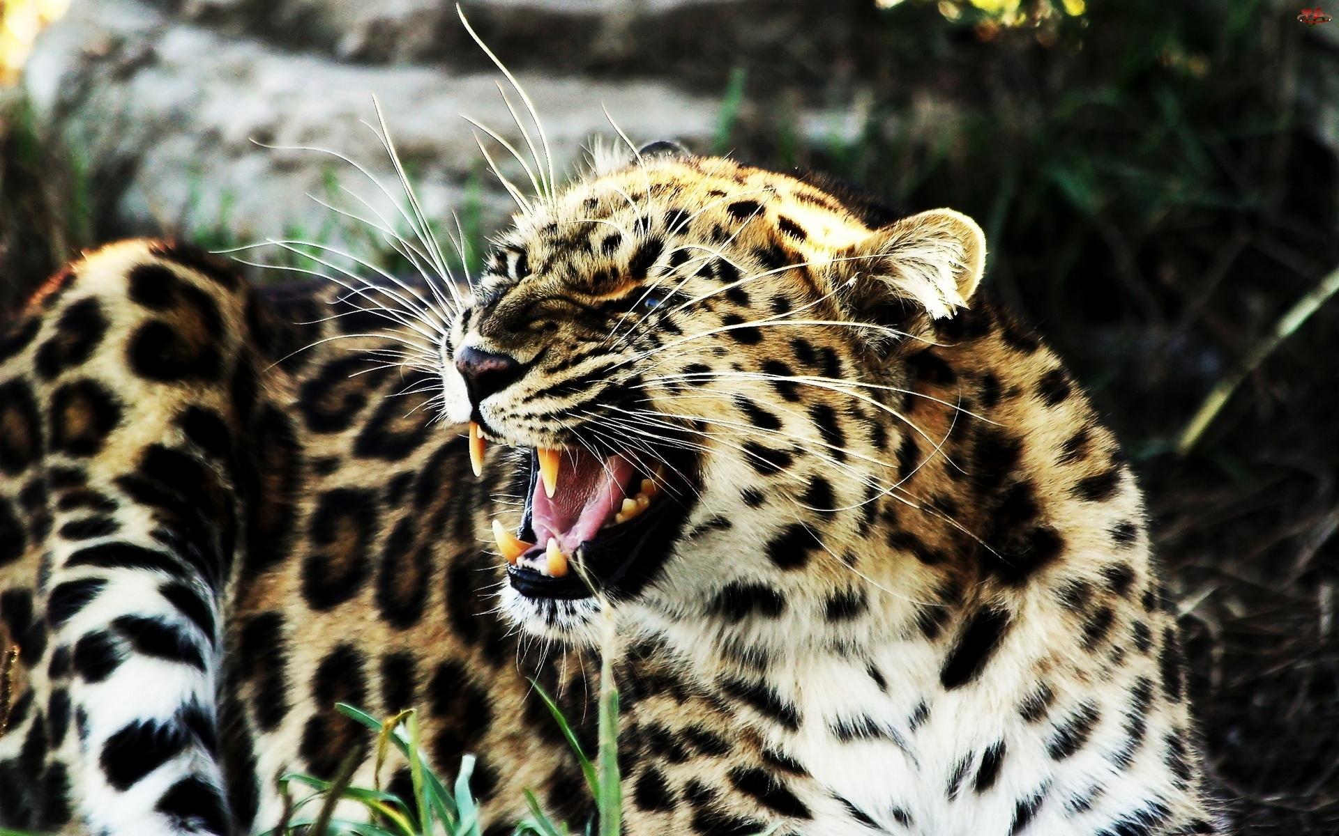 Jaguar, Kły, Wąsy