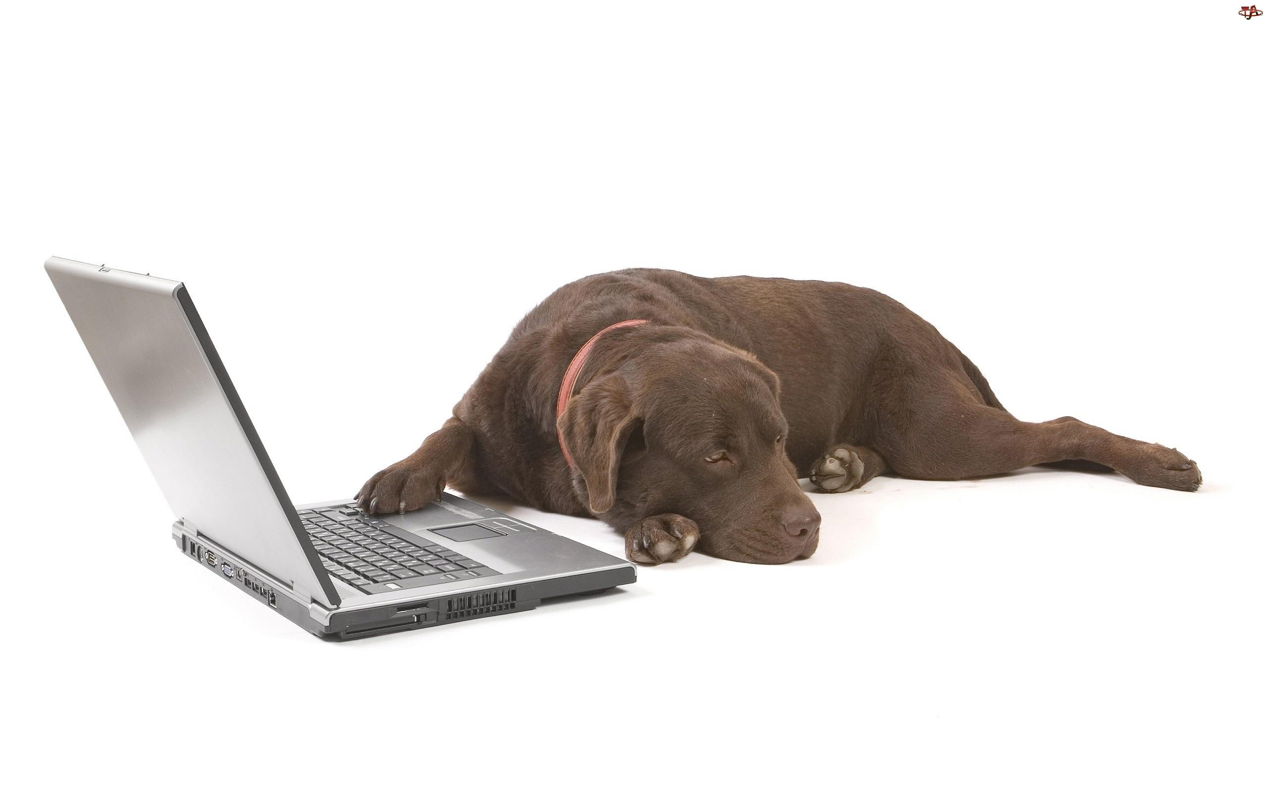 Laptop, Brązowy, Labrador