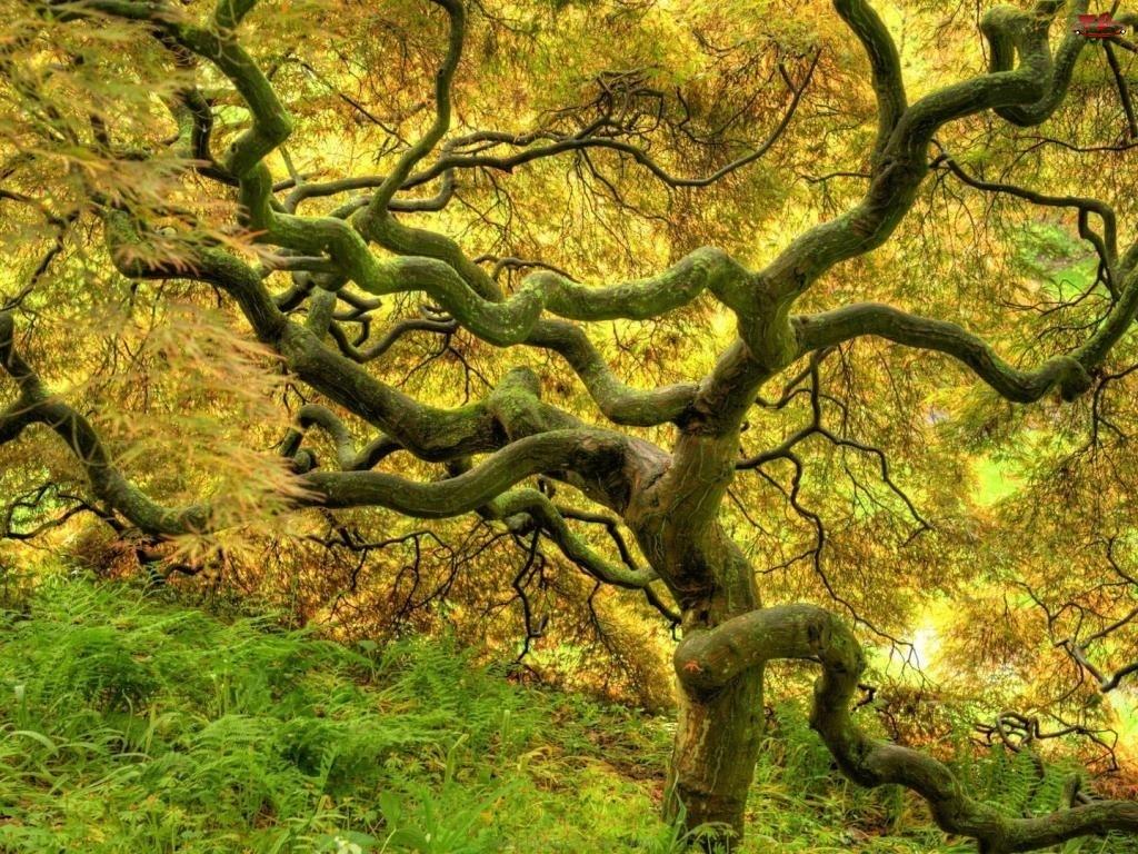 Konary, Drzewo, Rozłożyste