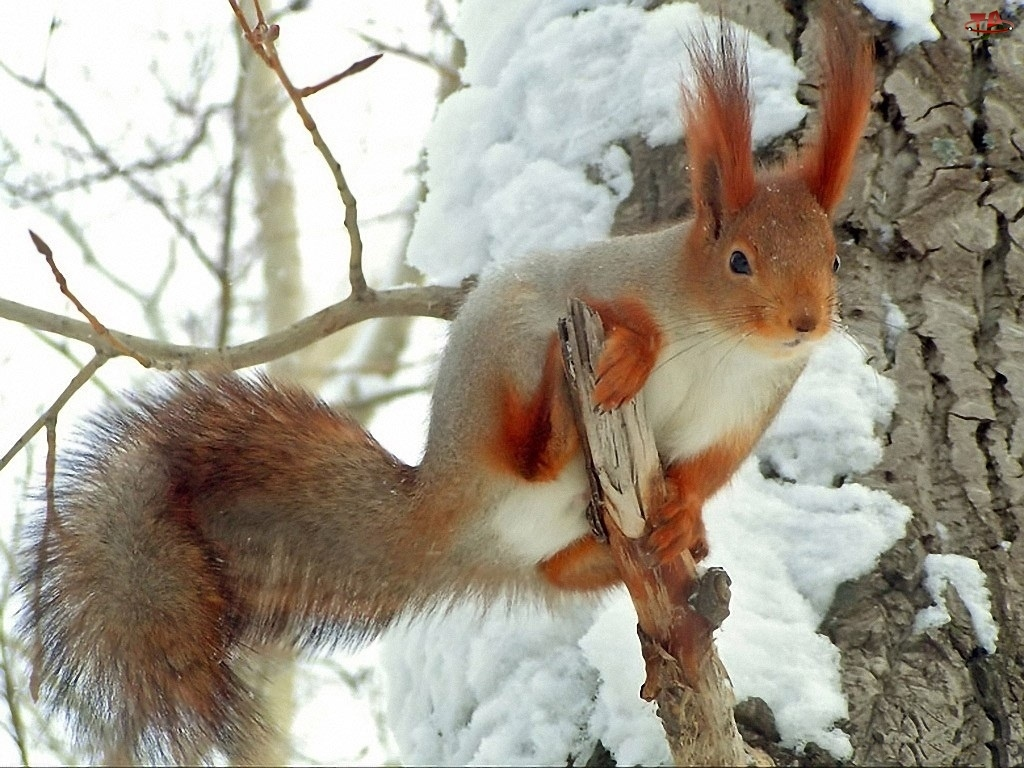 Konary, Śnieg, Drzewa, Wiewiórka