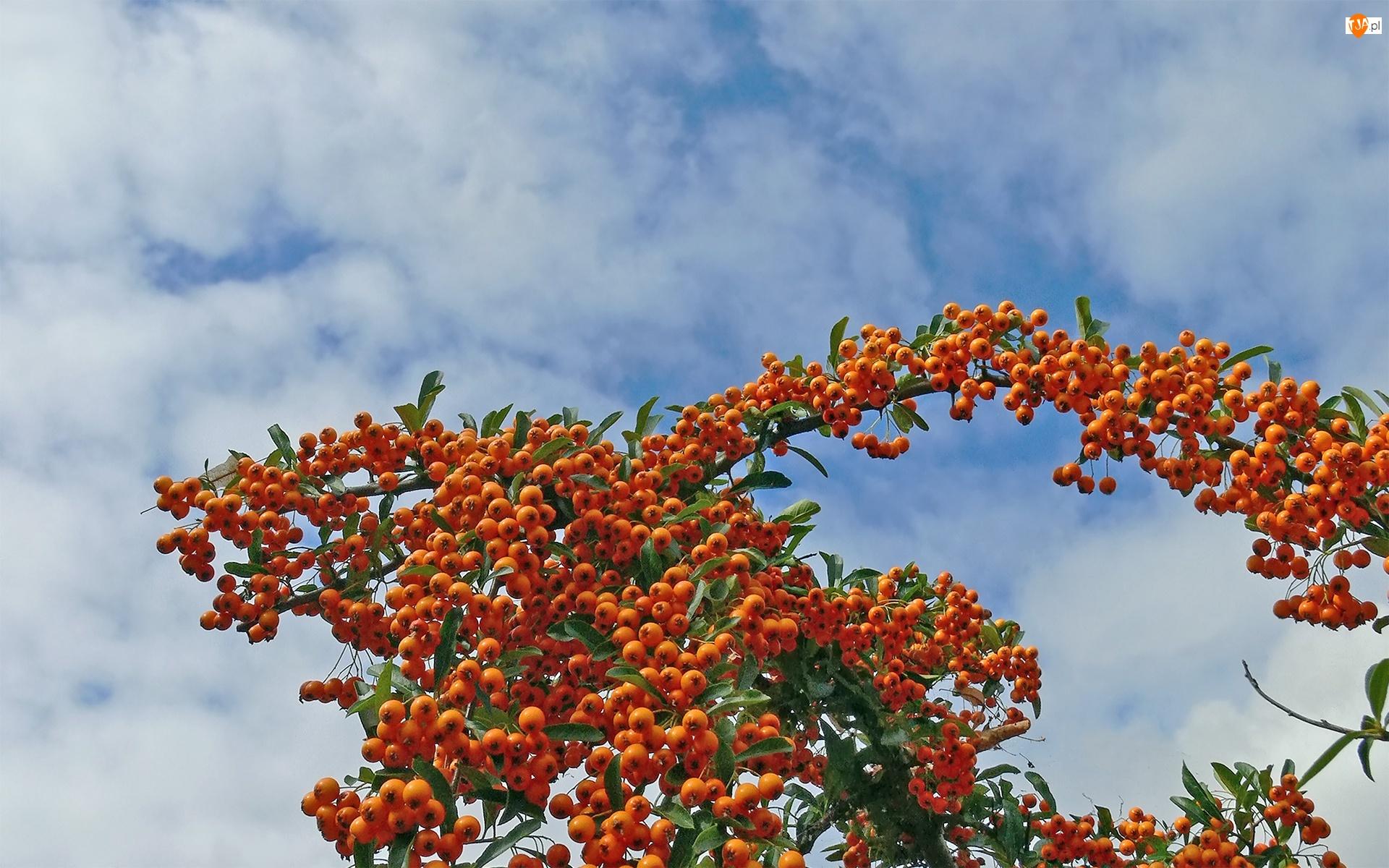 Krzew, Niebo, Rokitnik, Owoce