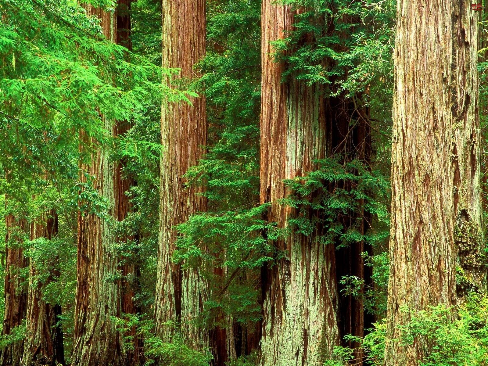Pnie, Drzewa, Okazałe