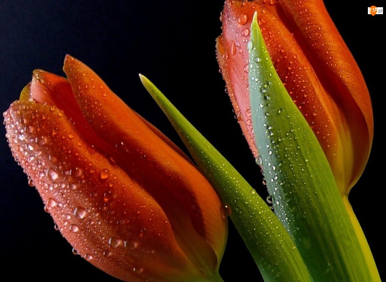 Dwa, Wody, Tulipany, Krople