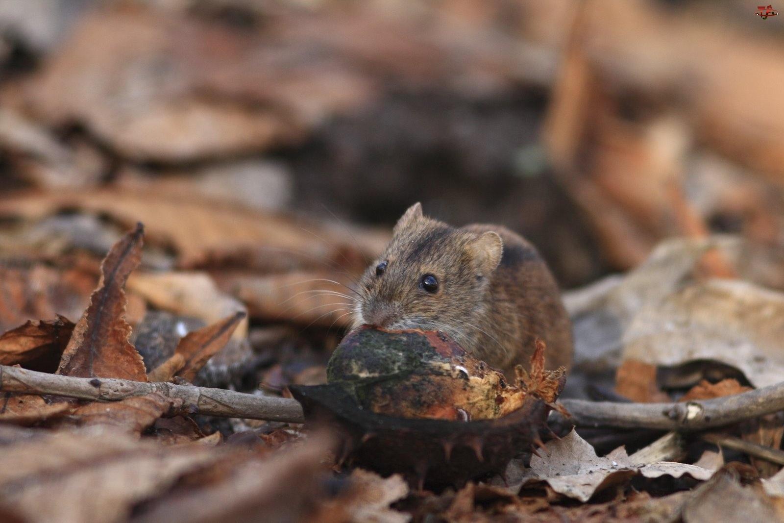 Mysz polna, Gałąź