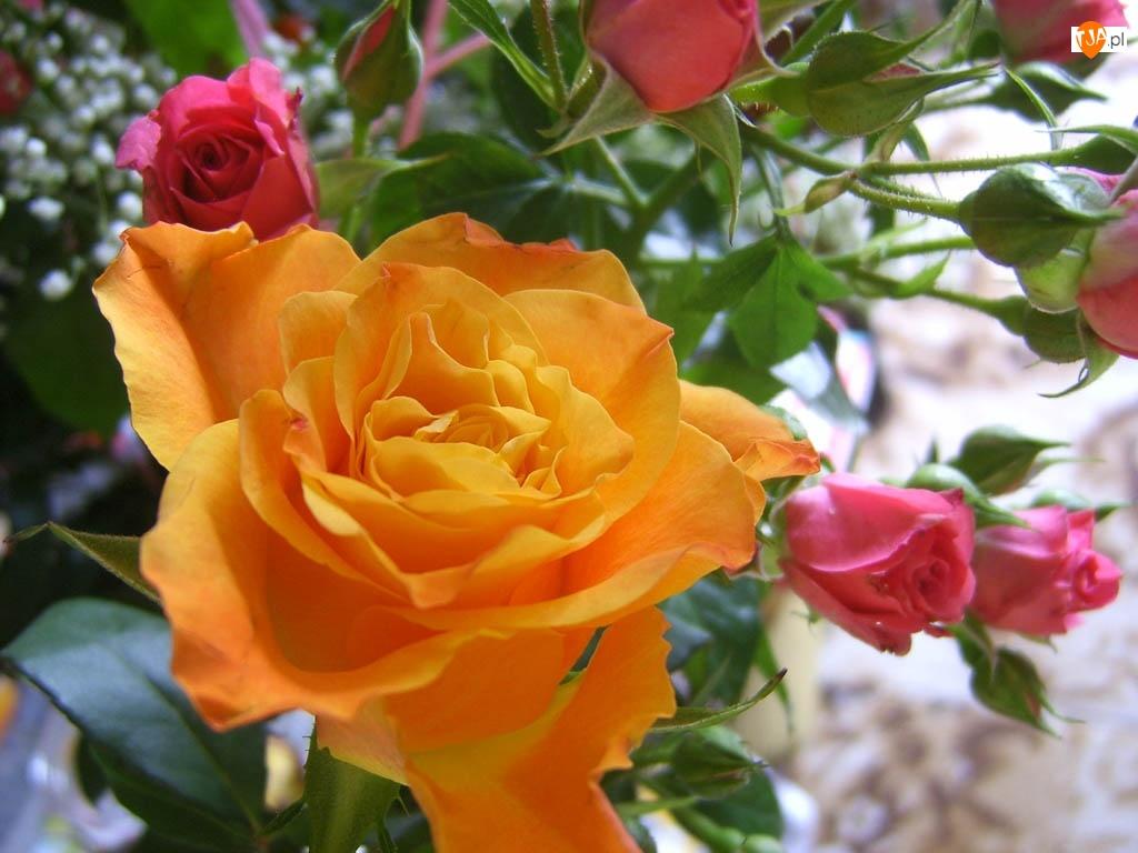 Różowe, Róże, Żółta