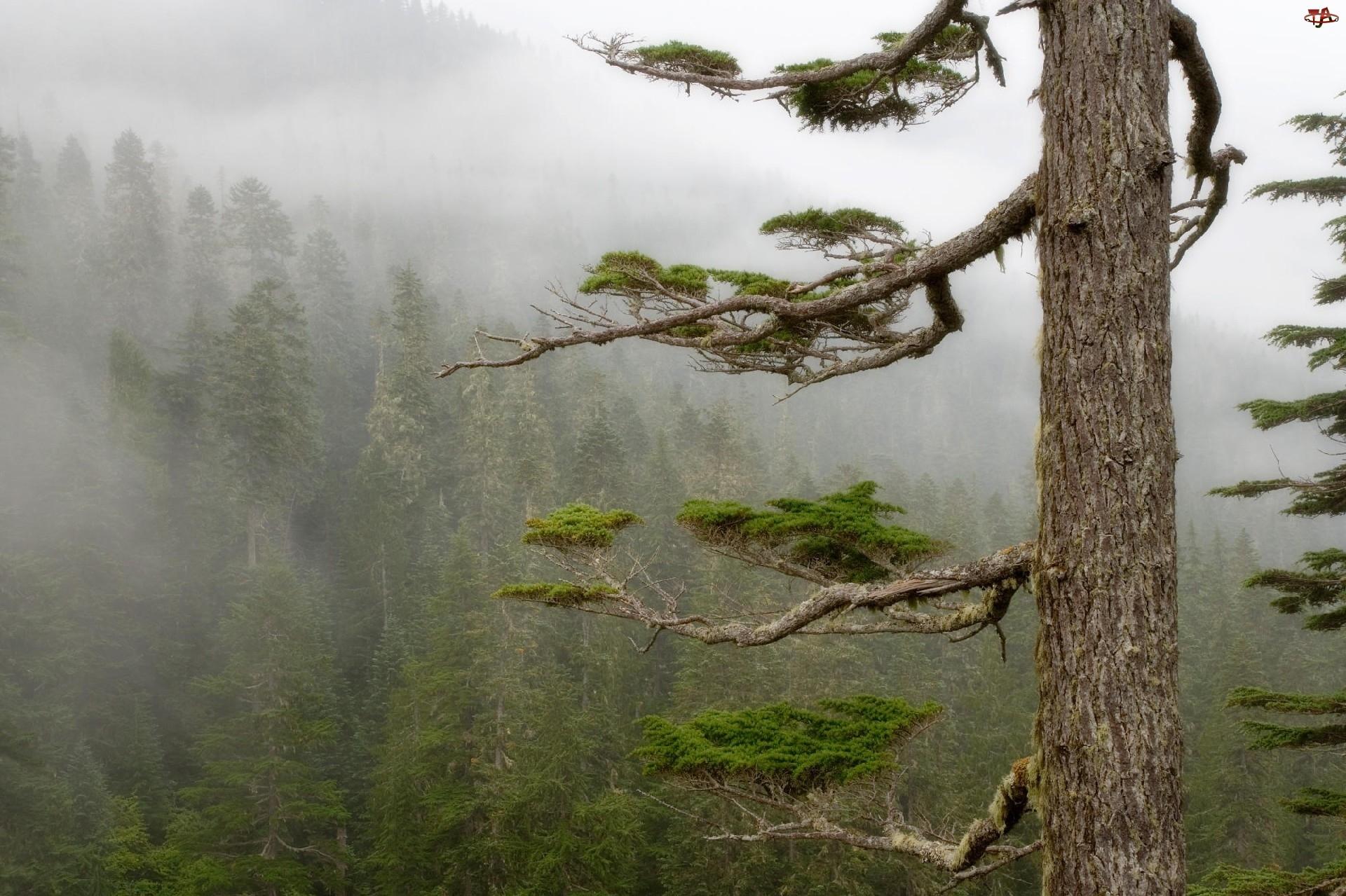 Drzewo, Las, Mgła, Konary