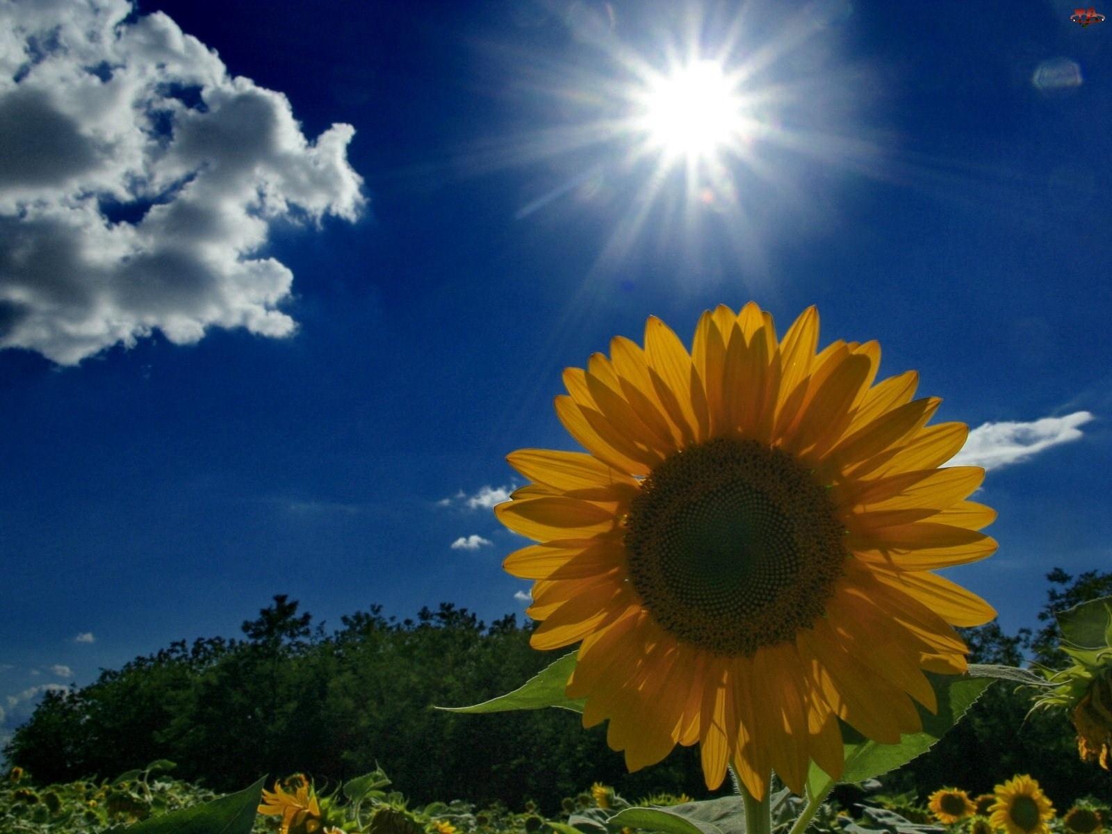Słońce, Słonecznik, Chmura