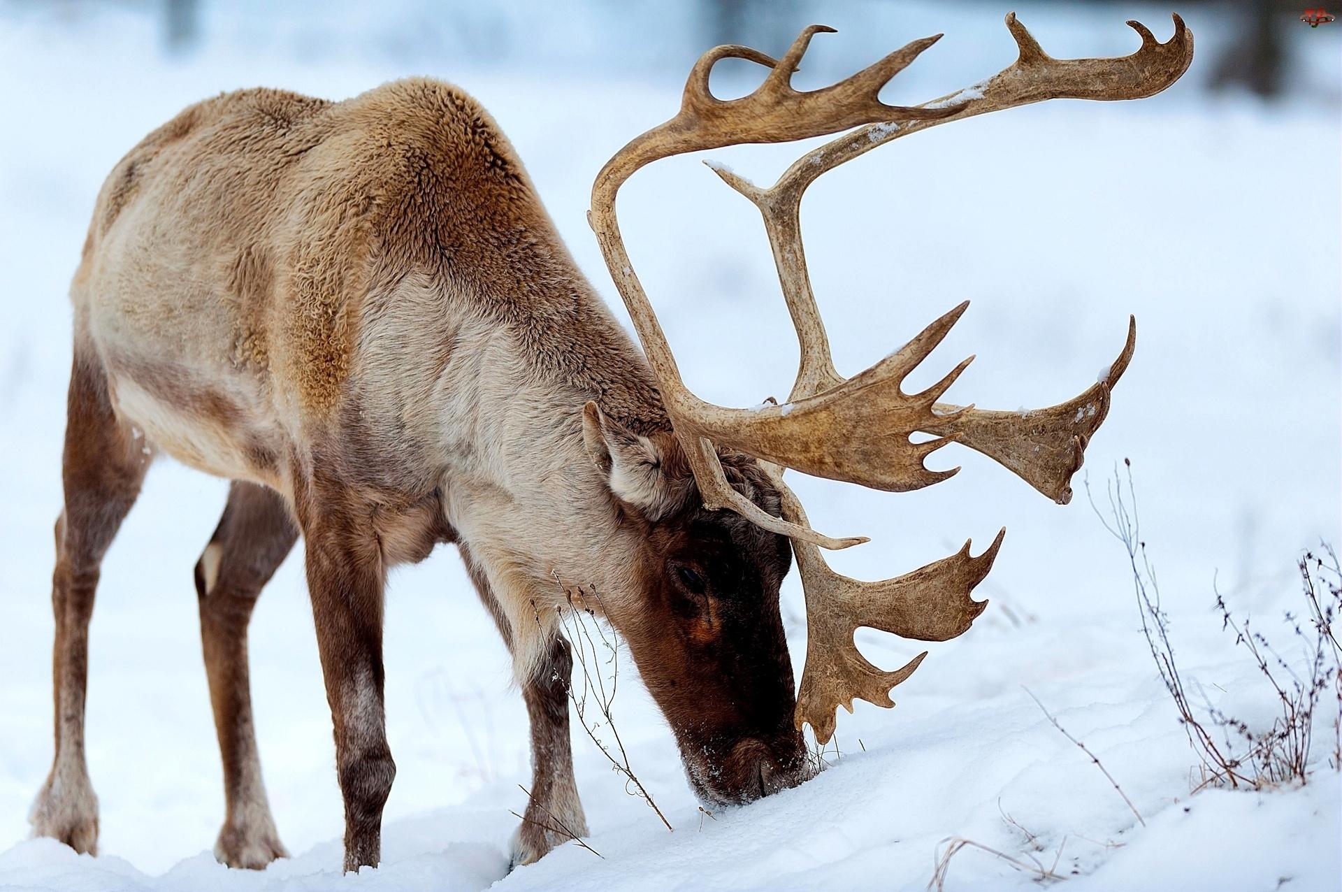 Śnieg, Jeleń, Poroże