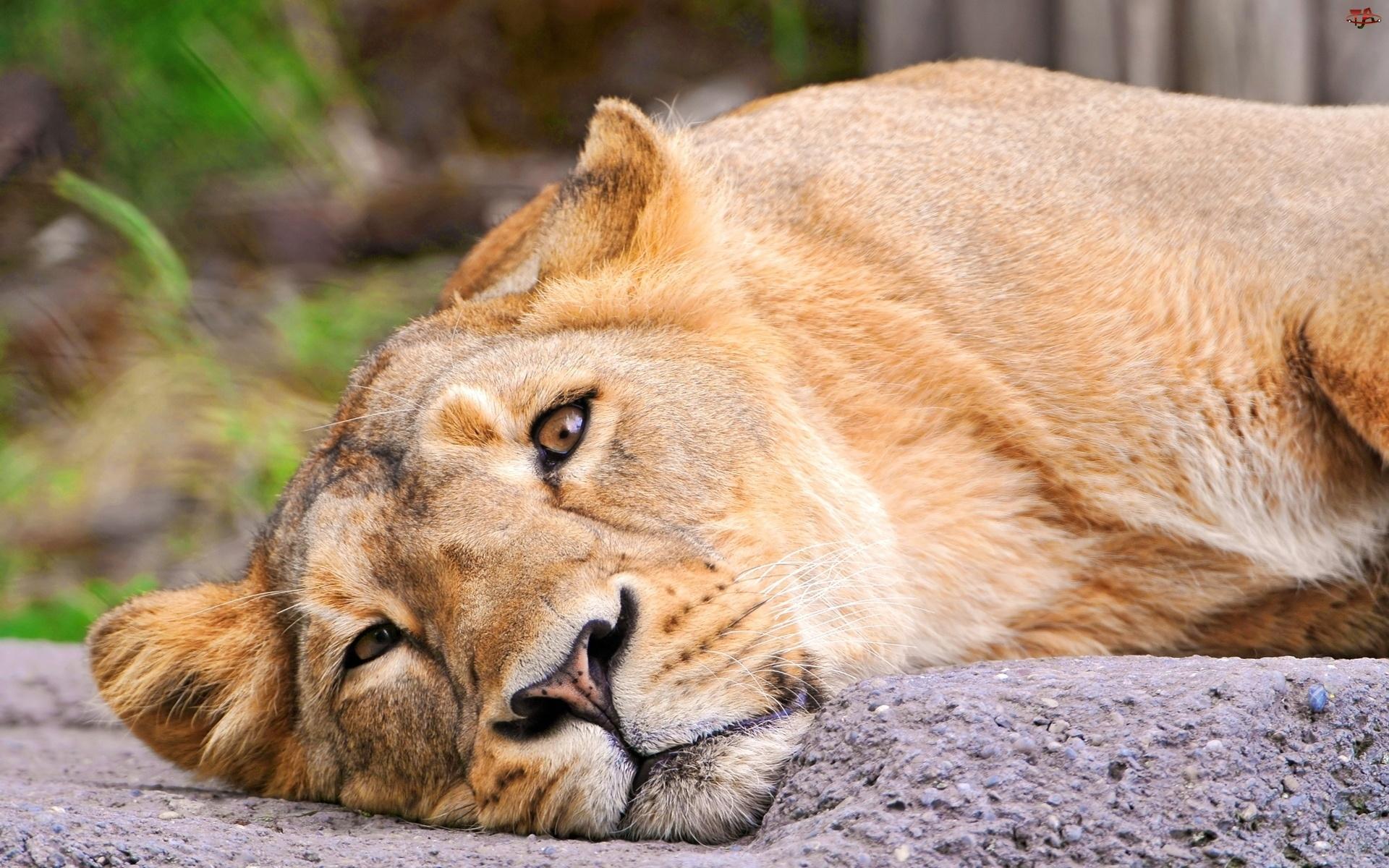 Lwica, Spojrzenie