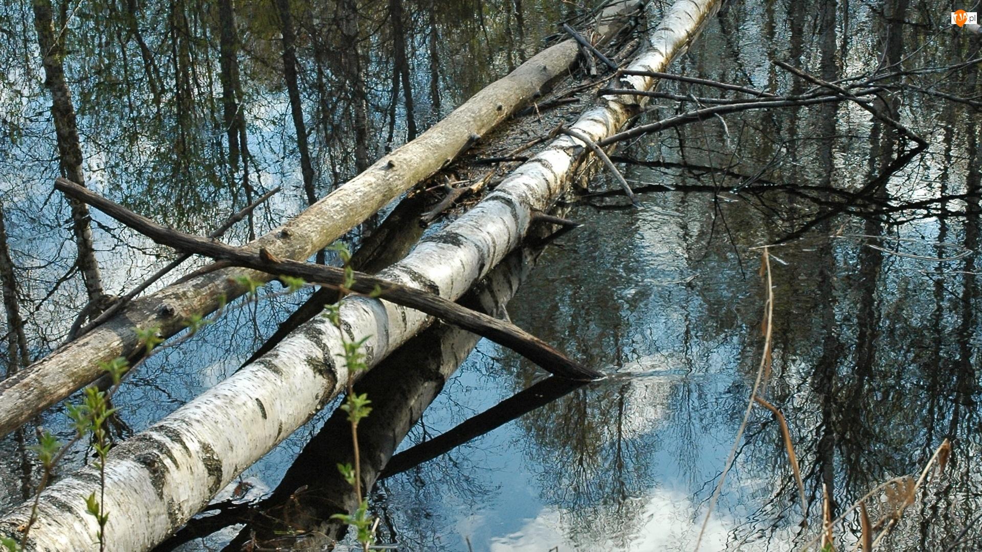 Woda, Brzozy, Powalone, Drzewa