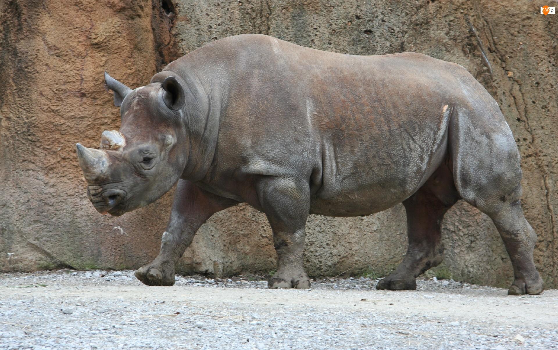 Nosorożec, Skała