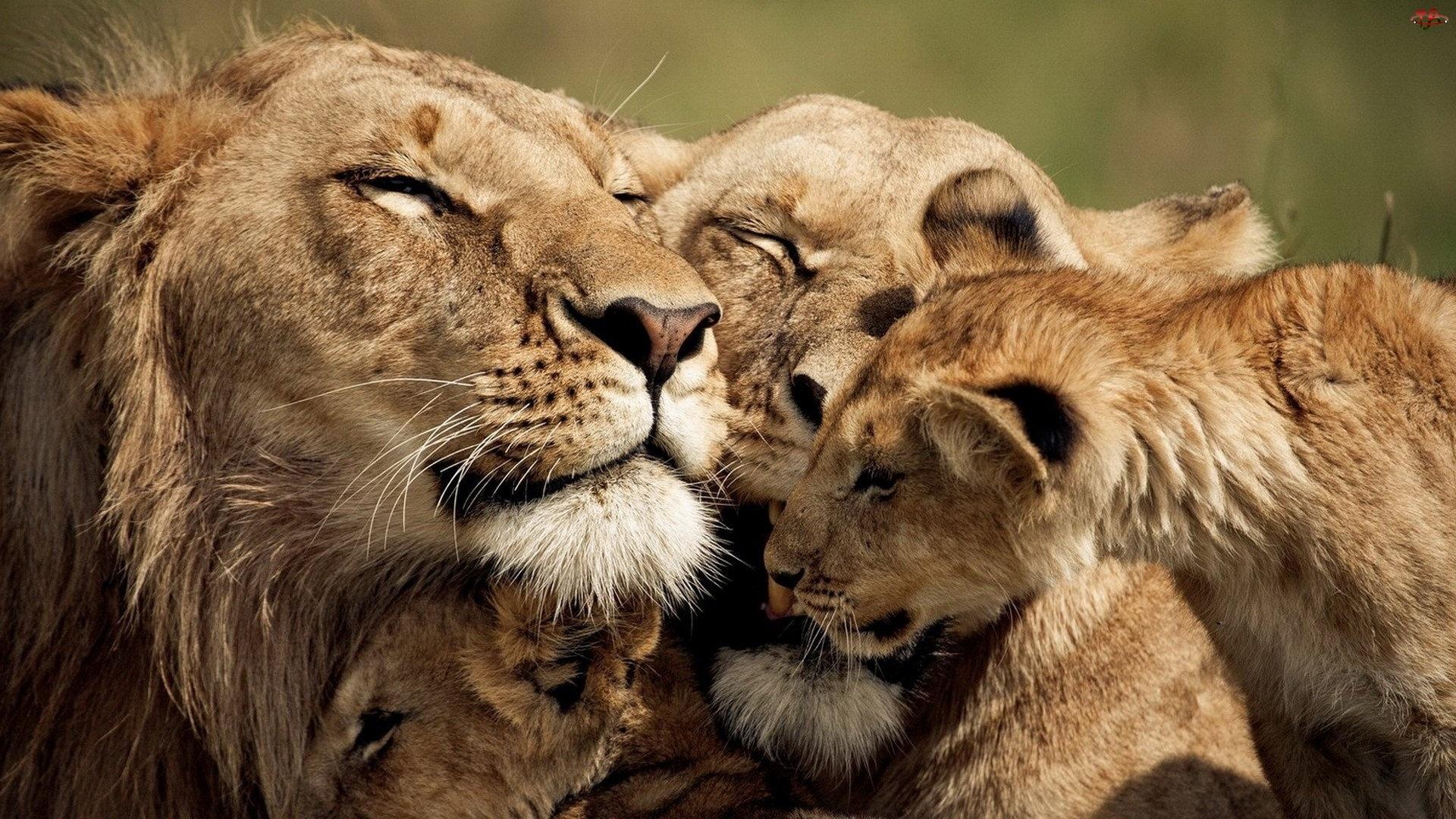 Rodzinka, Lwica, Młode