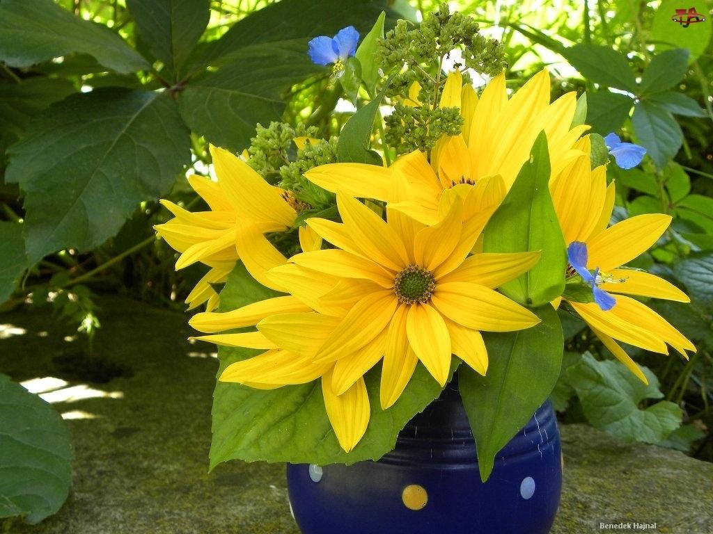 Kwiaty, Rudbekia, Błyskotliwa
