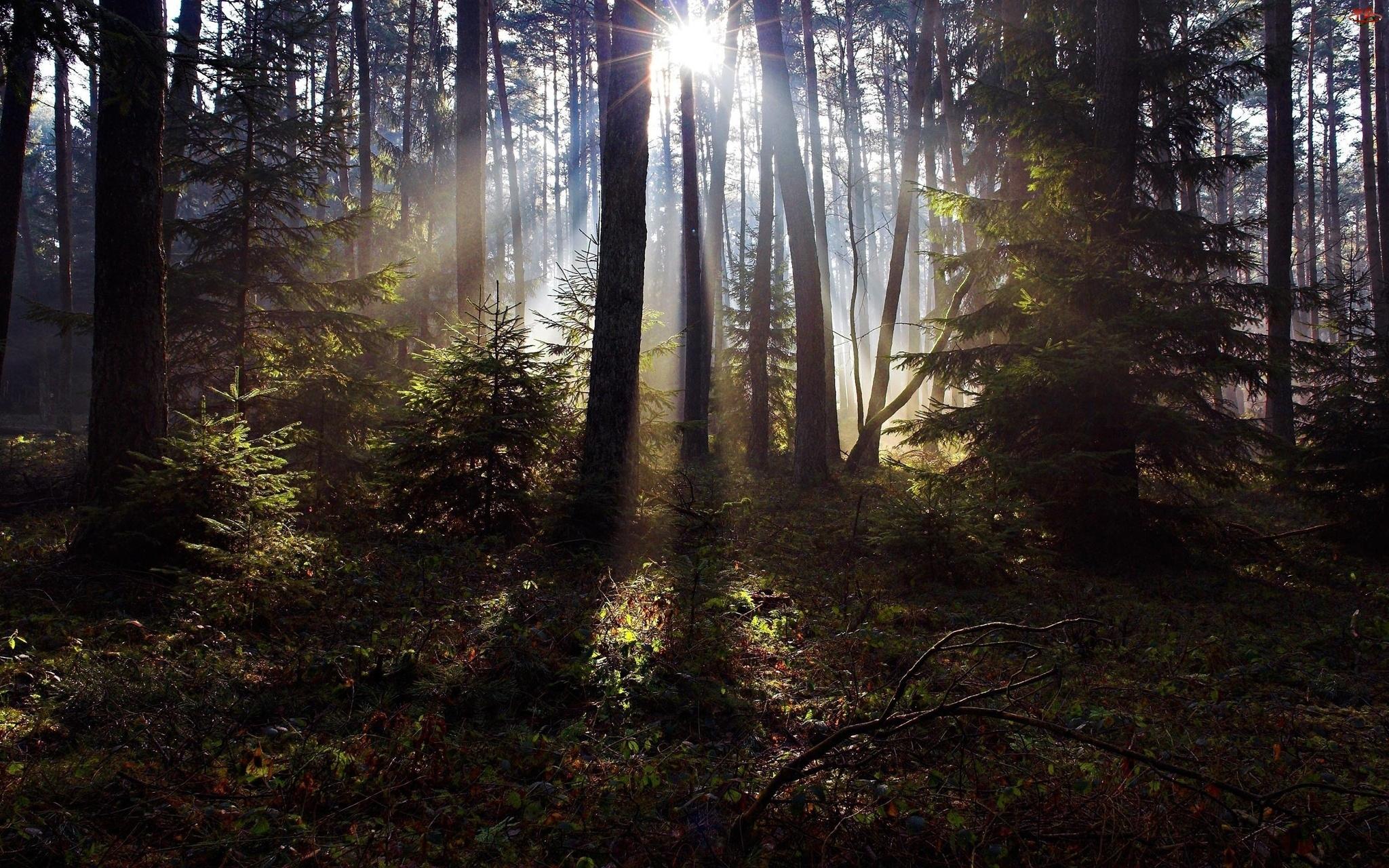 Poszycie, Prześwitujące, Las, Słońce, Drzewa, Leśne