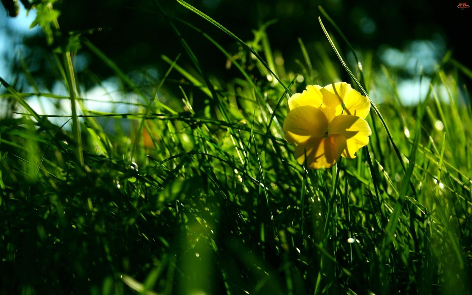 Trawa, Żółty, Kwiatek