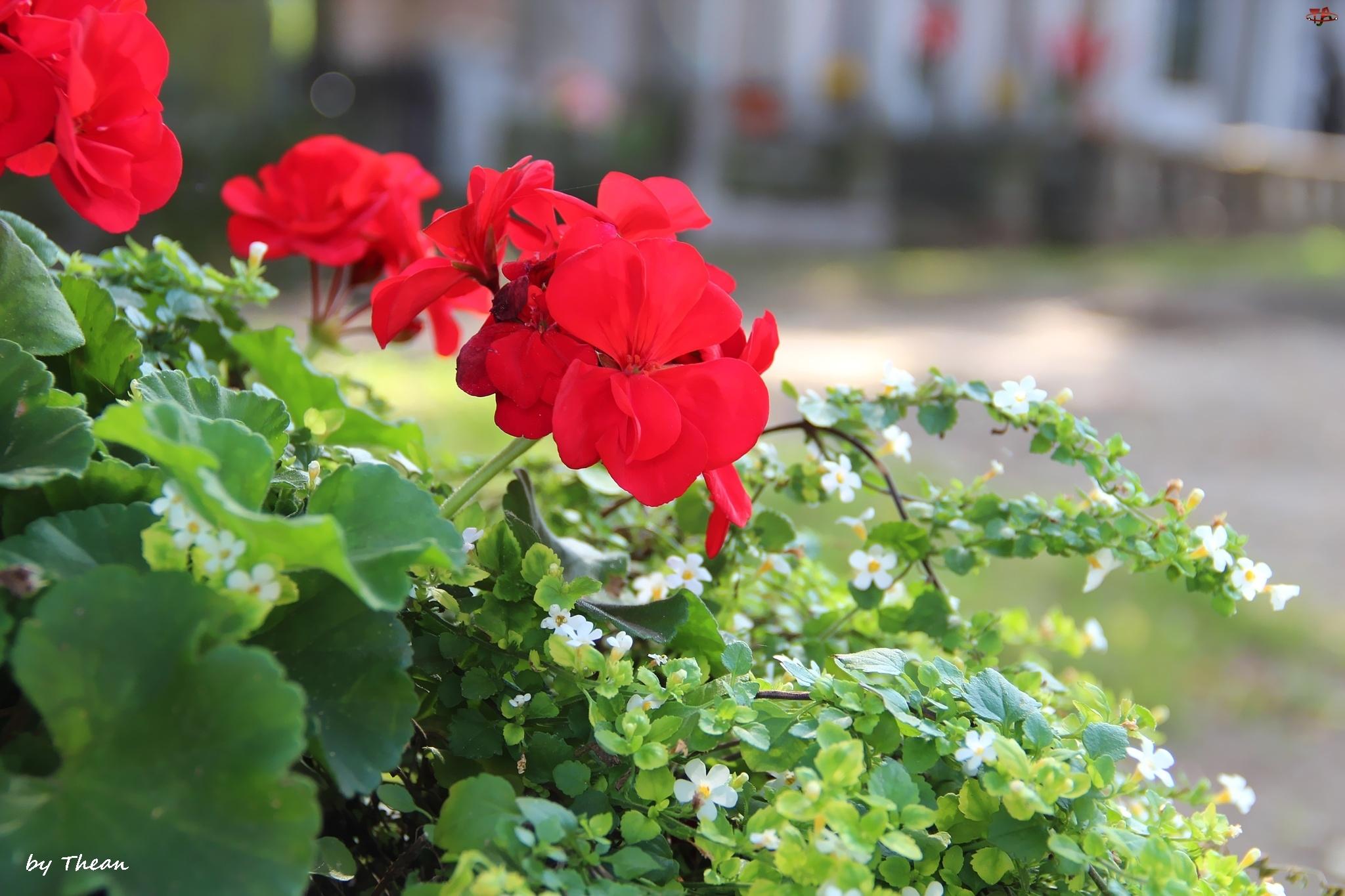 Czerwone, Kwiatuszki, Pelargonie, Białe