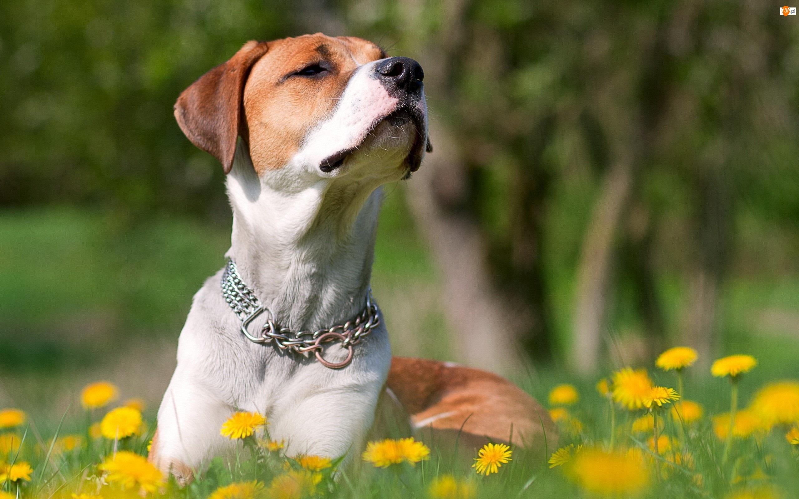 Pies, Żółte, Biało, Mlecze, Rudy, Łąka