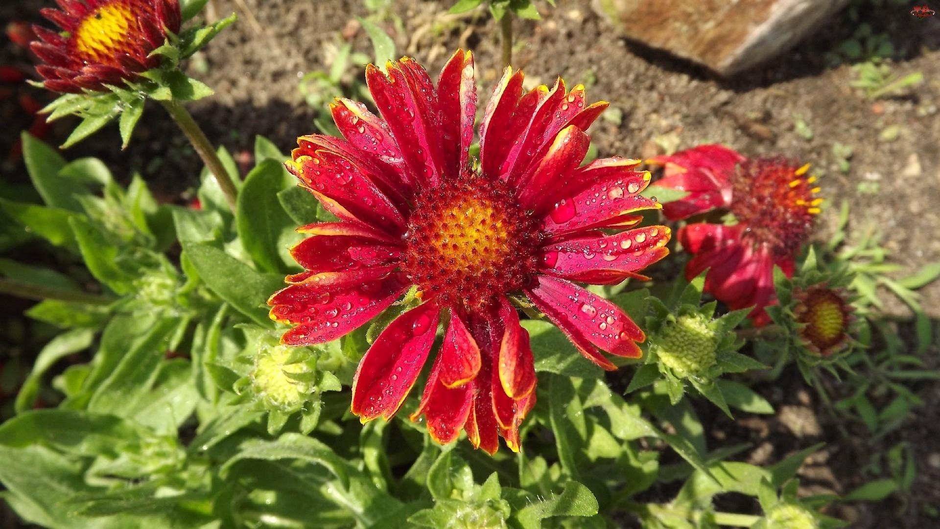 Kwiat, Rosy, Gailardia Oścista, Krople