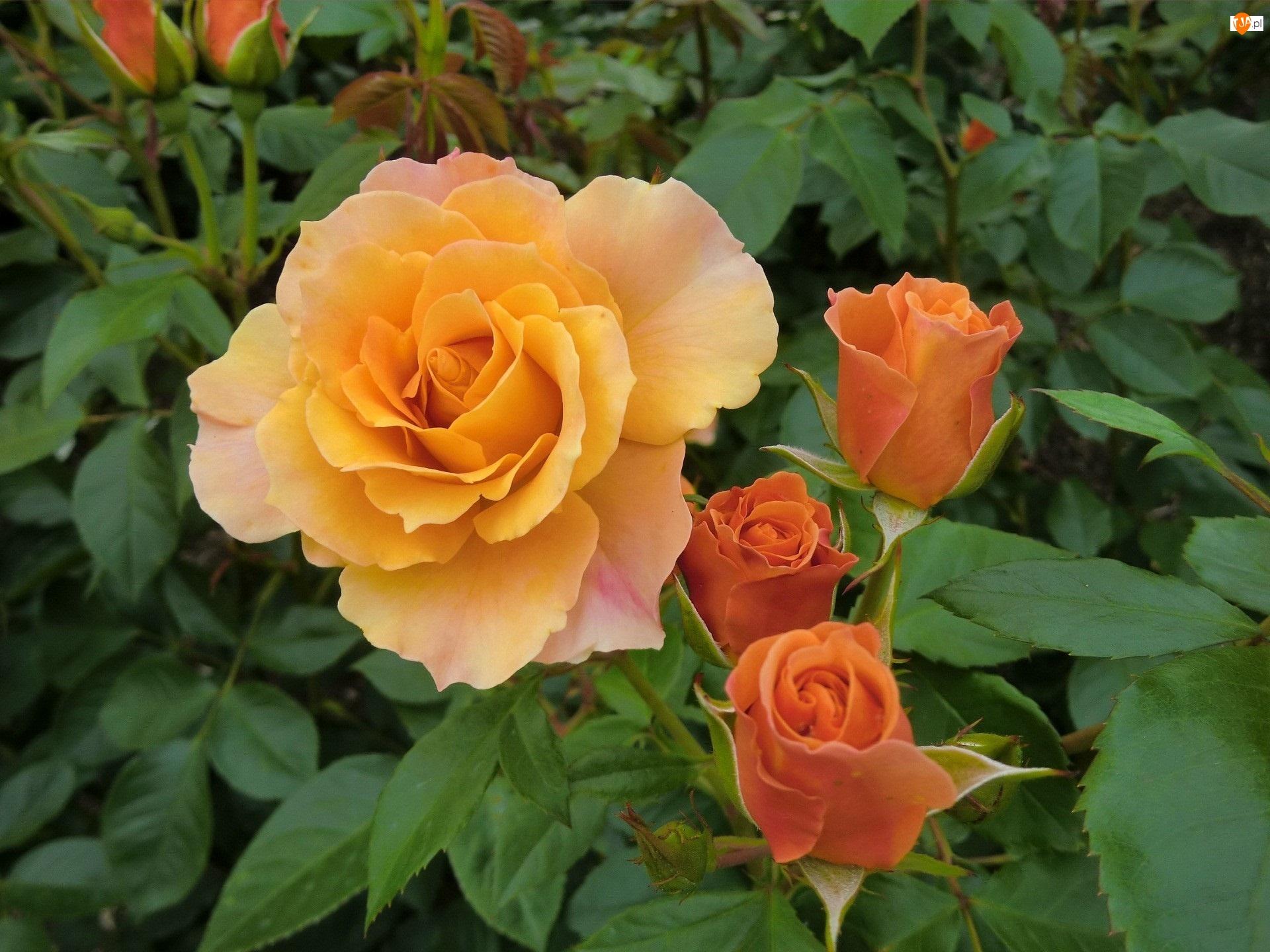 Pomarańczowe, Róże