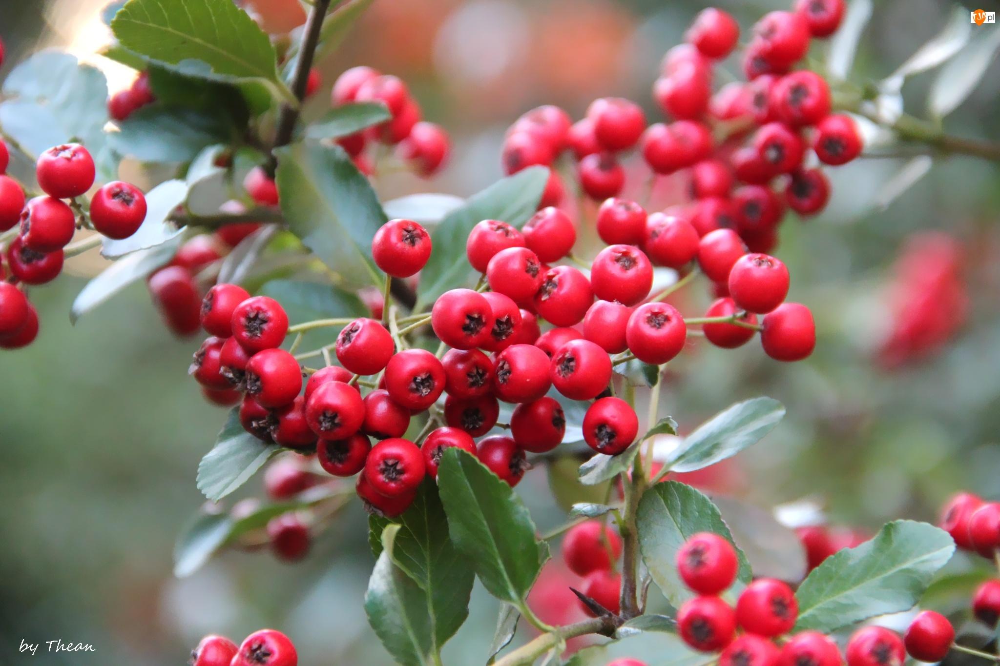 Krzew, Czerwone, Owoce