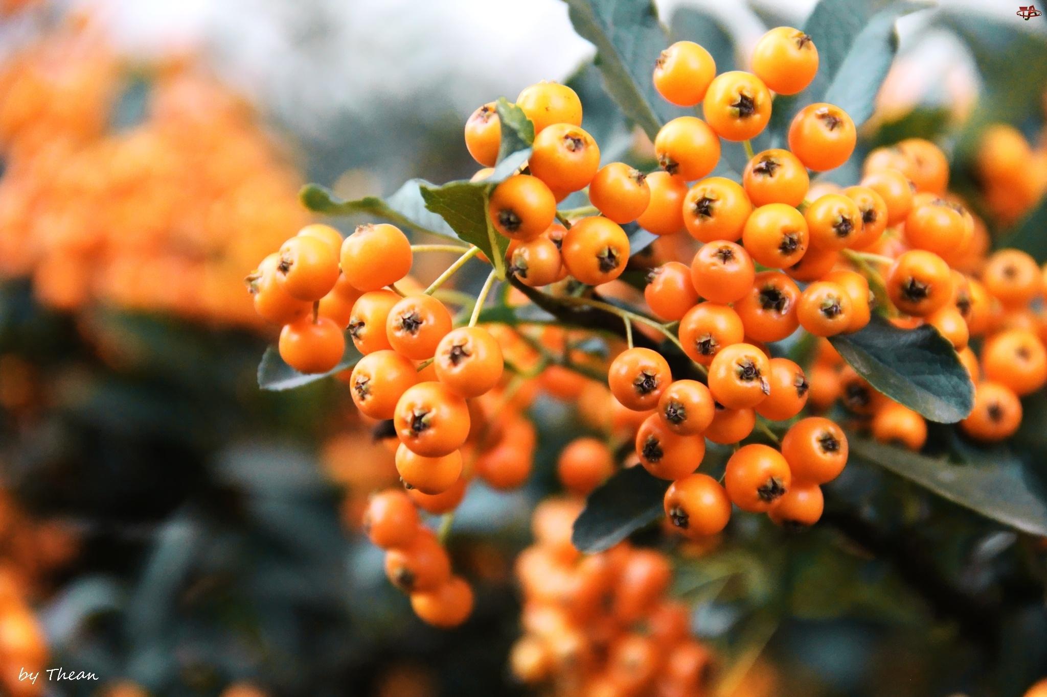 Krzew, Pomarańczowe, Owoce