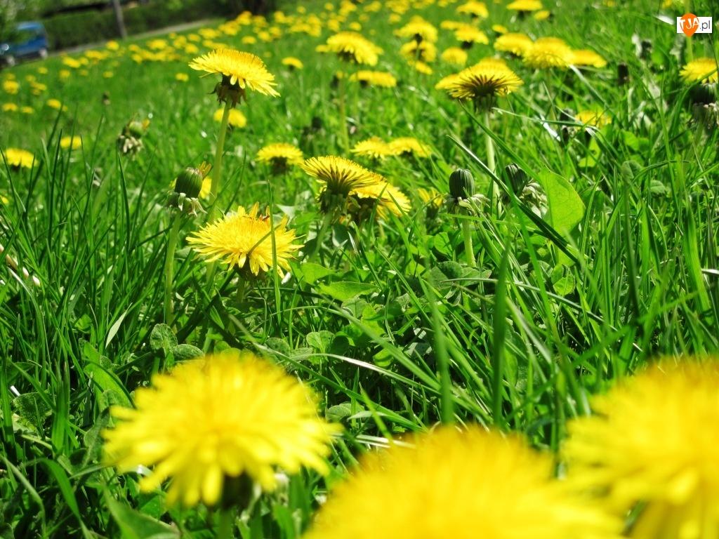 Wiosna, Trawa, Park, Mlecze