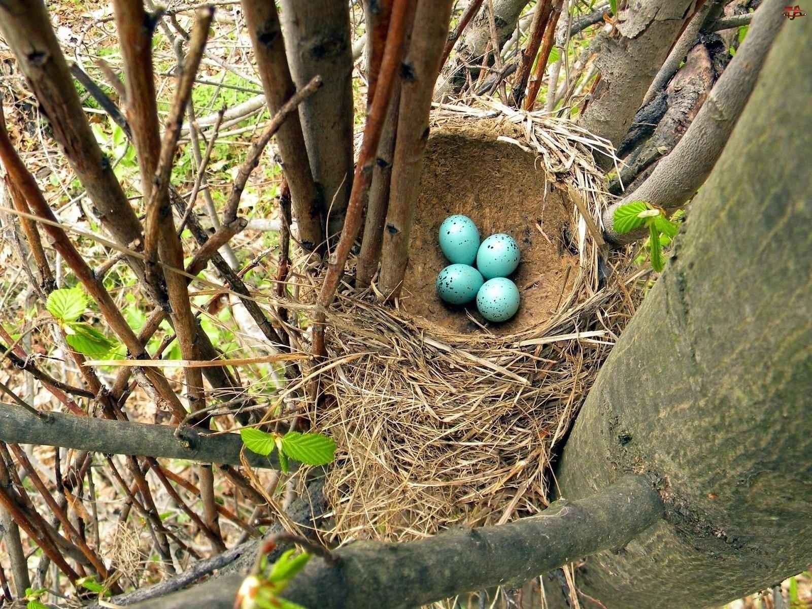 Niebieskie, Konary, Ptasie, Drzewa, Gniazdo, Jajeczka