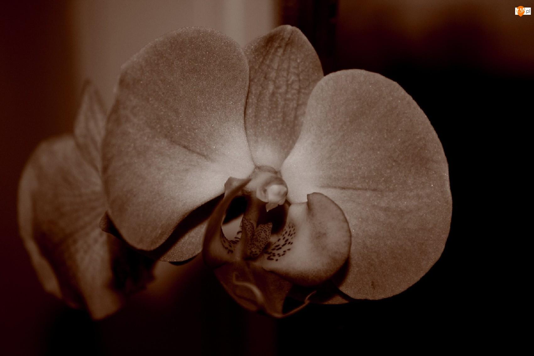 Sepia, Kwiat, Storczyk