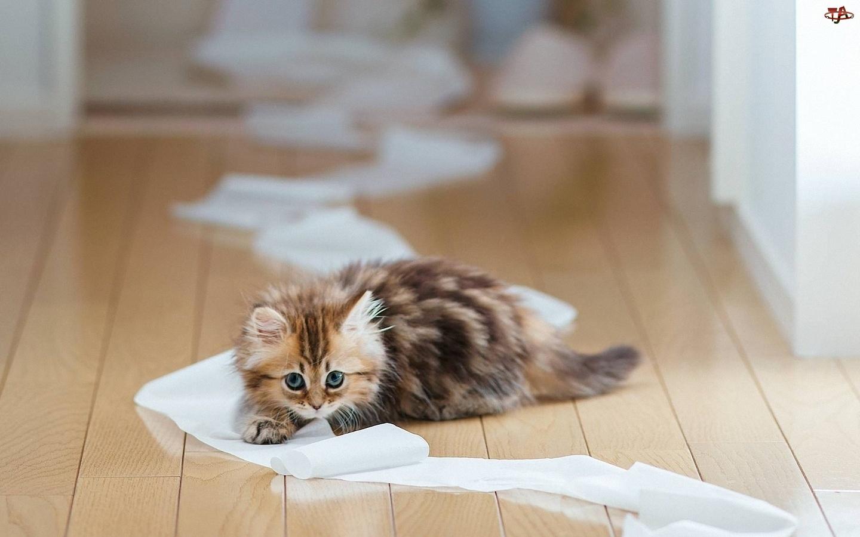 Mały, Toaletowy, Kotek, Papier