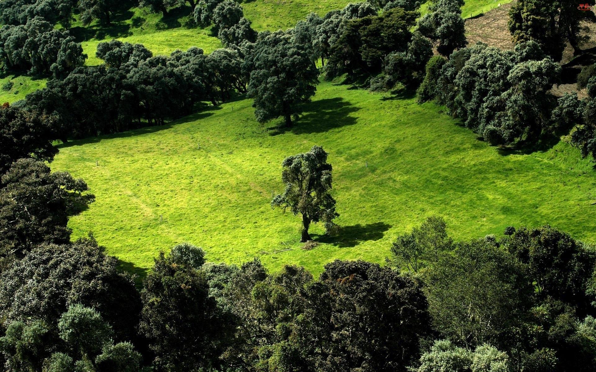 Drzewa, Drzewo, Polana, Samotne
