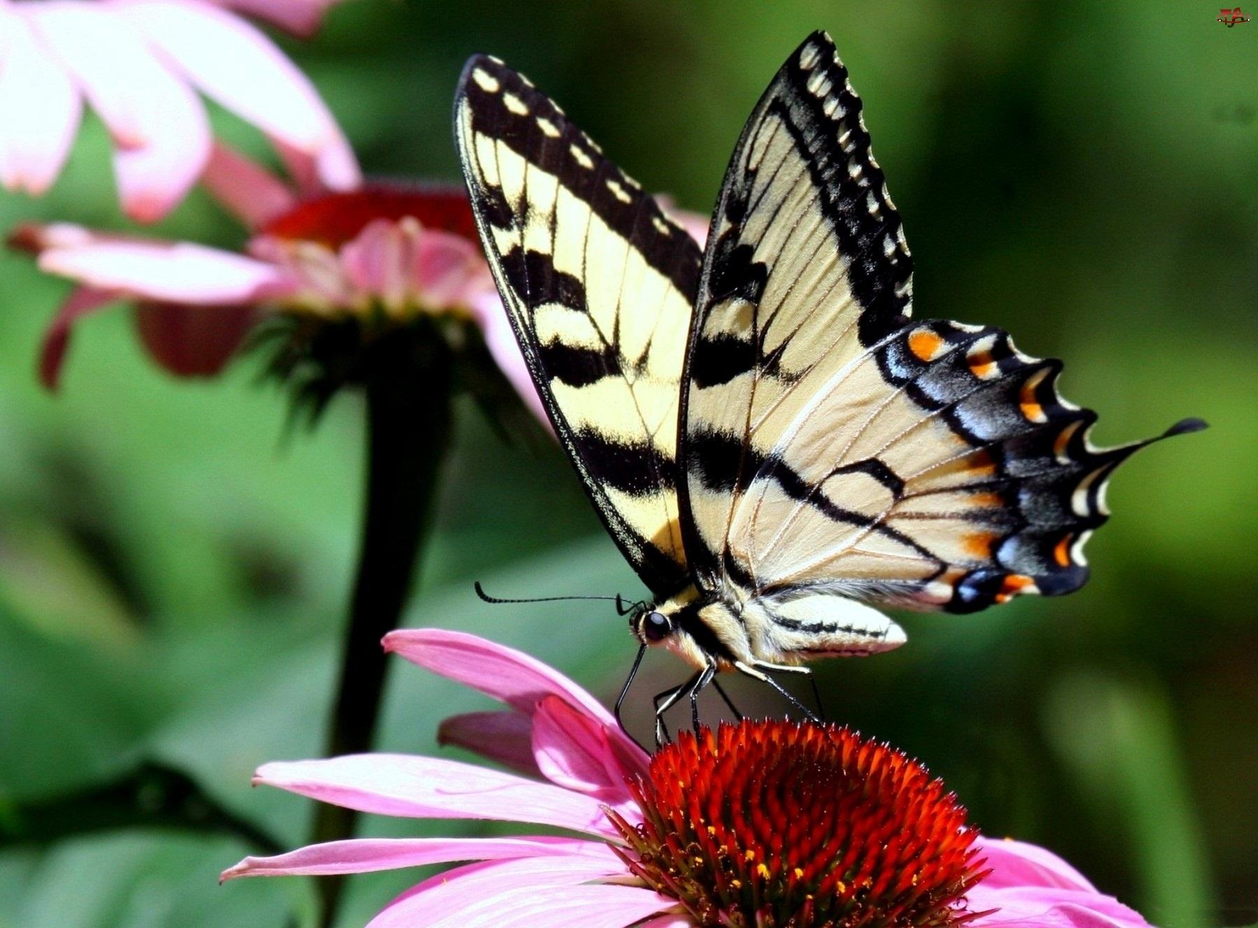 Kwiaty, Piękny, Rozłożone, Motyl, Skrzydła
