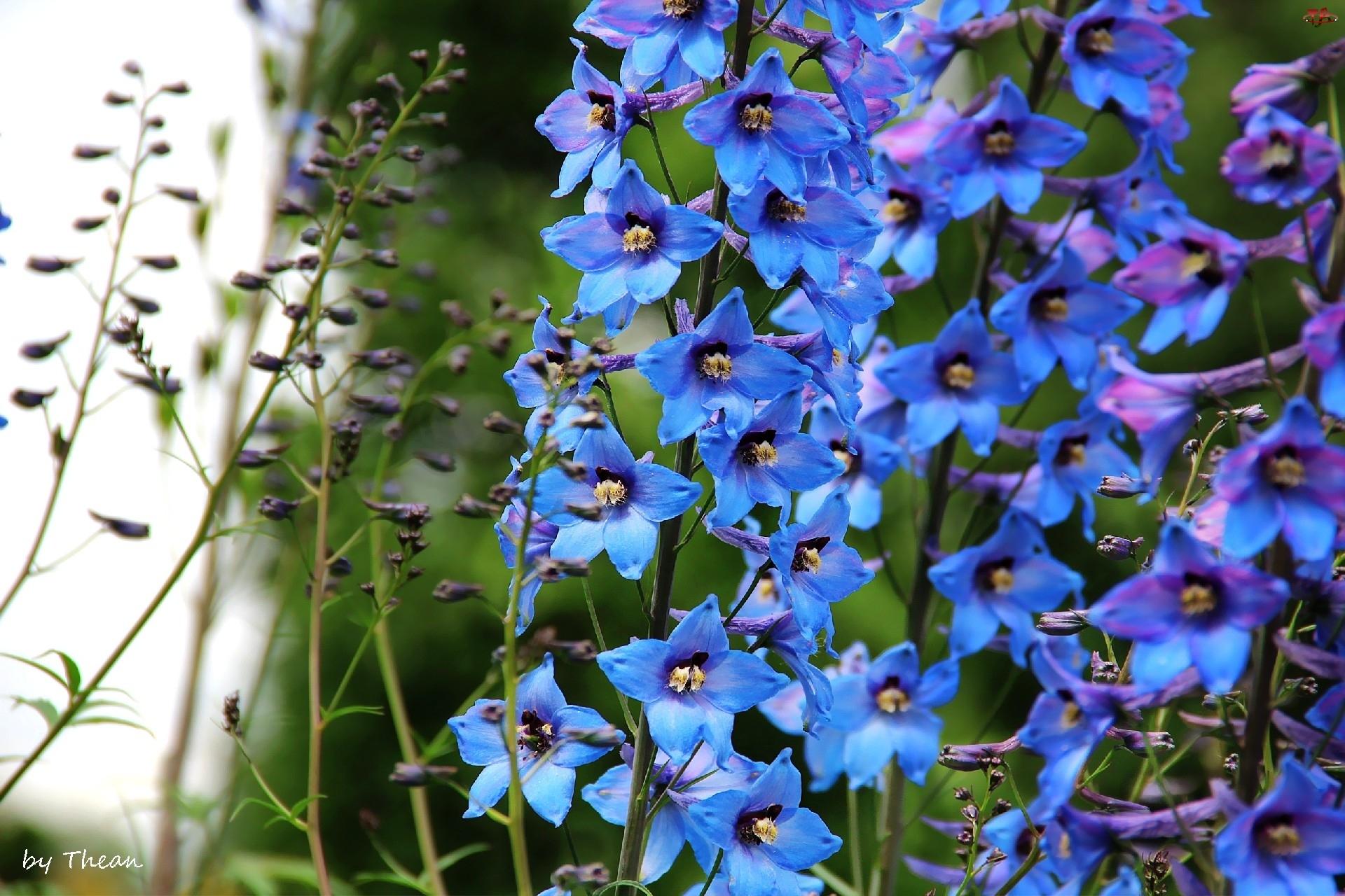 Niebieskie, Ostróżka ogrodowa, Dzwonki, Kwiaty