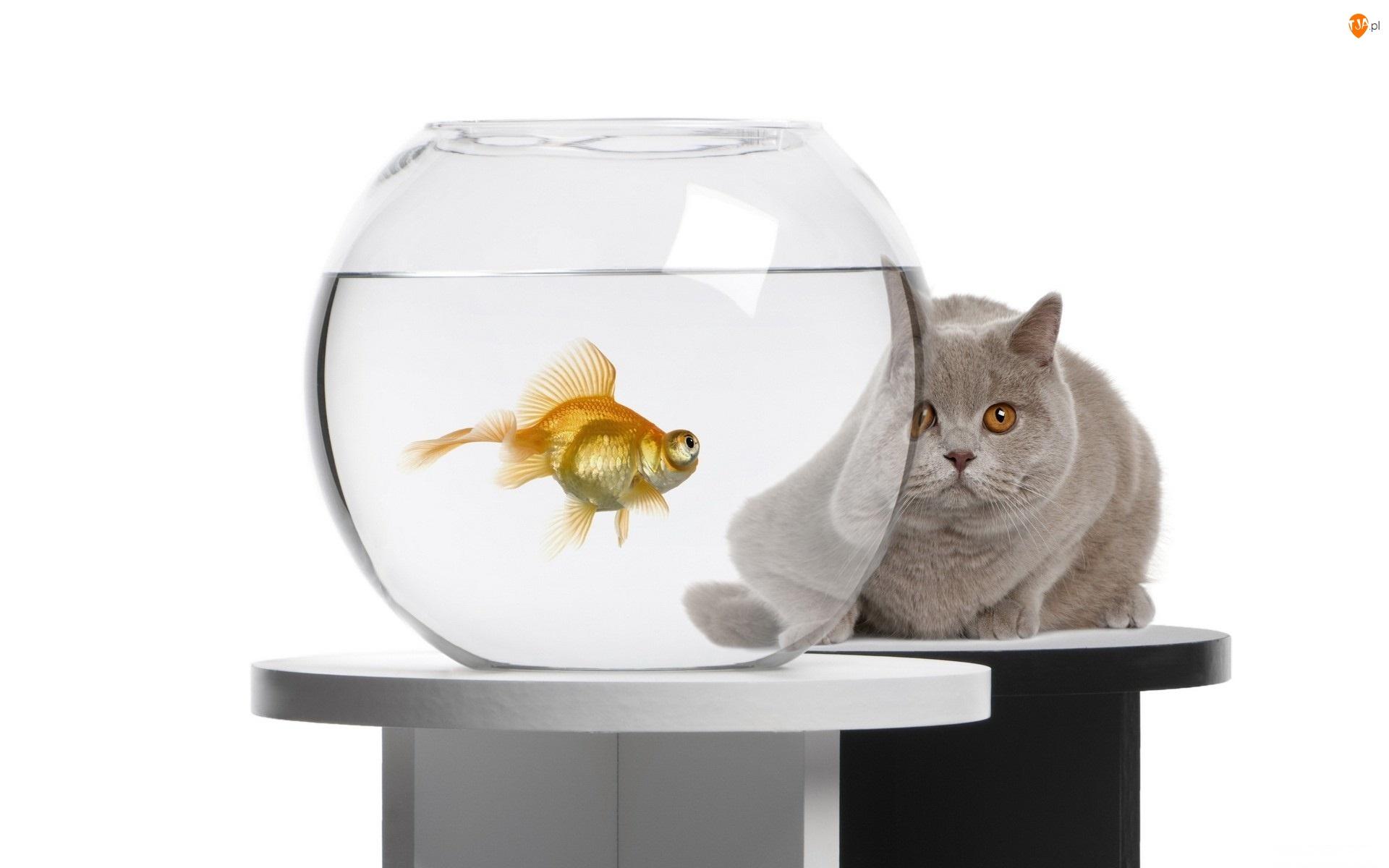Akwarium, Kot, Kula, Rybka