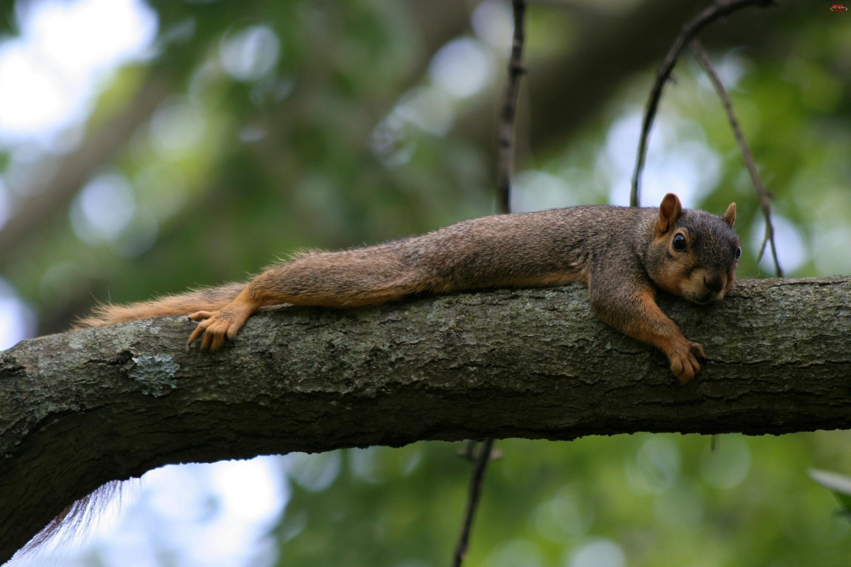 Leżakowanie, Wiewiórka, Drzewo