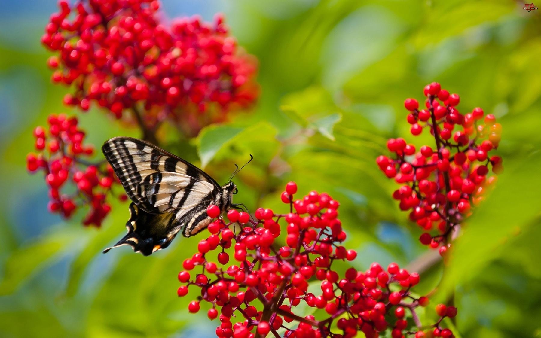 Owoce, Motylek, Czerwone
