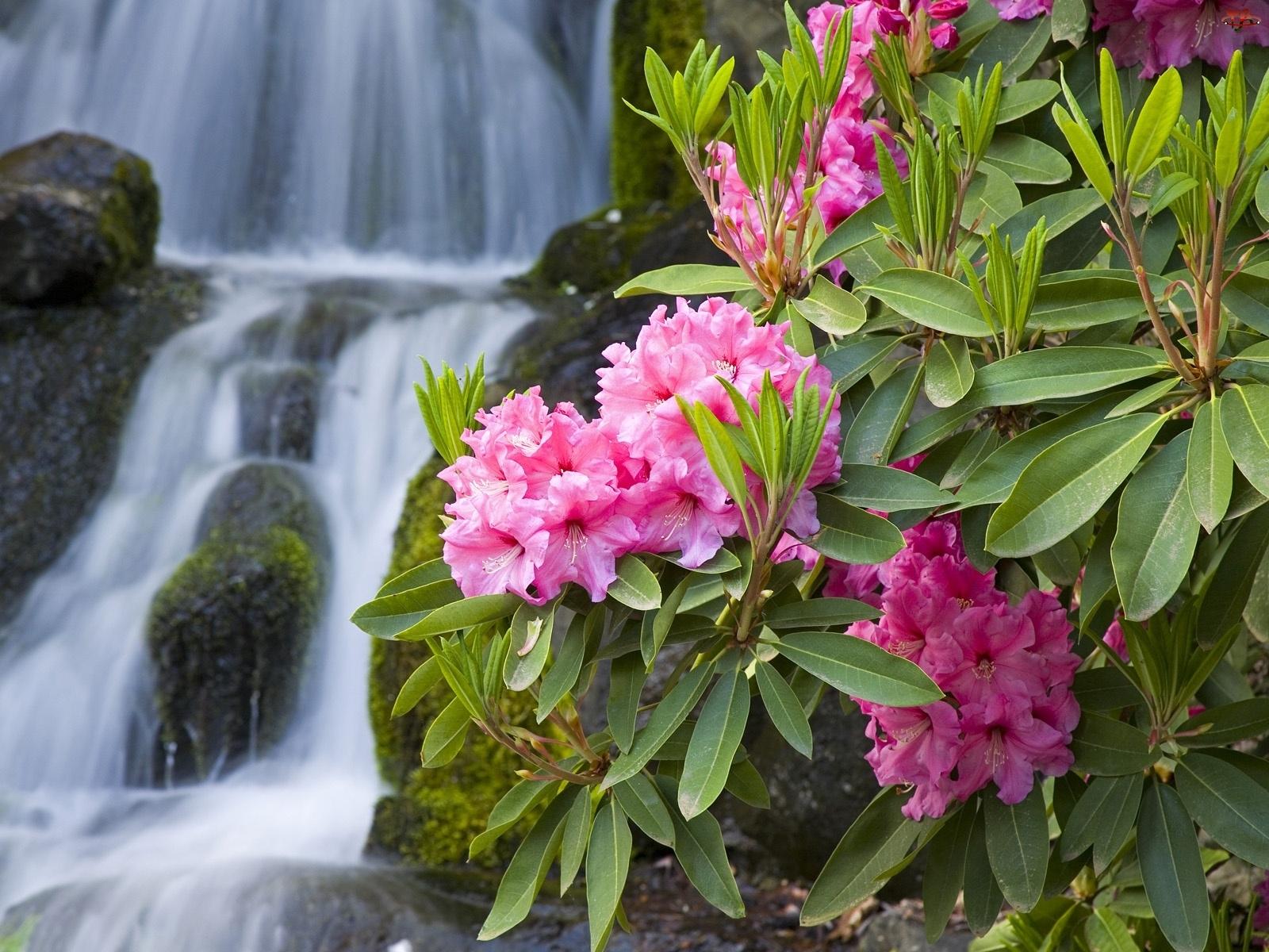 Wodospad, Kwiaty, Rododendrony